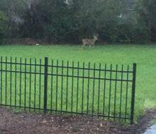 Deer in client's yard - Glen Kernan Country Club