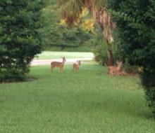 Deer in Glen Kernan Country Club community.