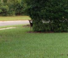 Deer peeking from behind a tree on client's lawn - Glen Kernan Country Club